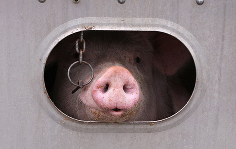 Undercover Investigation Shows Horrifying Abuse at Hog Farm | Nature Animals humankind | Scoop.it