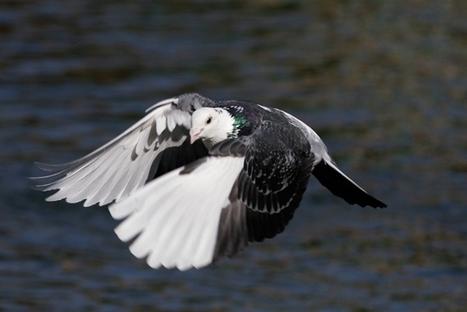 Dopage : des pigeons contrôlés positifs à la cocaïne | Sport et dopage | Scoop.it