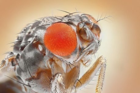 Smart fruit flies remember the time of day | Amazing Science | Scoop.it