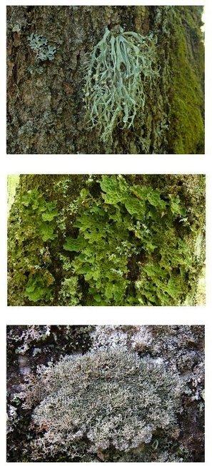 Enquête participative Lichens forestiers d'Auvergne et du Massif-Central | Sciences participatives, pratiques collaboratives | Scoop.it