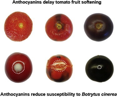 Current Biology - Anthocyanins Double the Shelf Life of Tomatoes by Delaying Overripening and Reducing Susceptibility to Gray Mold | Emerging Research in Plant Cell Biology | Scoop.it