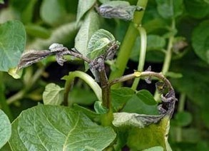 Potato late blight still a threat to global food security | News | The James Hutton Institute | A Better Food System | Scoop.it