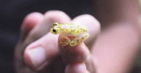 Blog de Biología: Aparece rana cristal en los bosques de Costa Rica | Bichos en Clase | Scoop.it