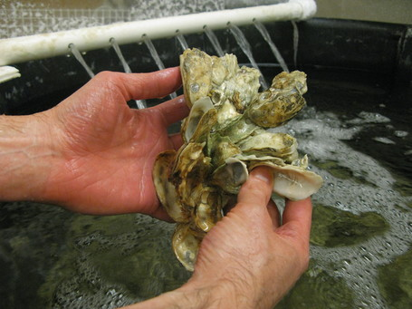 Why A Hoosier State Scientist Is Stuck On Oysters : NPR | Complex Insight  - Understanding our world | Scoop.it
