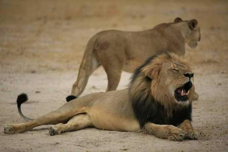 More Than 40 Lions Get Hunted in Zimbabwe Every Year | Trophy Hunting: It's Impact on Wildlife and People | Scoop.it