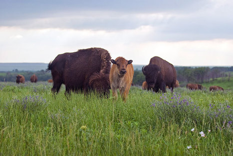 Bison: The American Prairie's First Farmers - Modern Farmer | STEM Connections | Scoop.it