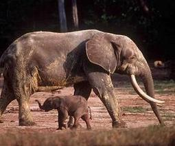 African elephant survival tops agenda at Botswana talks | Sustain Our Earth | Scoop.it