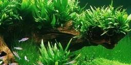 Low Maintenance Aquarium Plants - How To Clean A Fish Tank   saltwater   Scoop.it