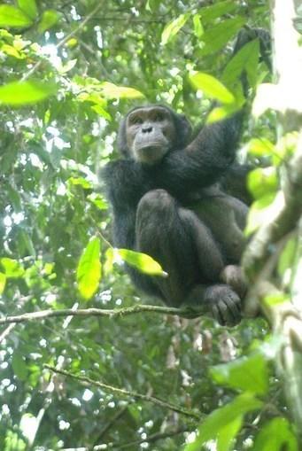 Les chimpanzés communiquent leur connaissance d'un danger aux ignorants   Beyond the cave wall   Scoop.it