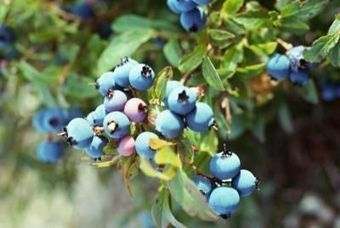 The Diligent Gardener: How to Grow Blueberries | Cool Sites I love | Scoop.it