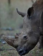 Rhino Horn   it's only benefit is to a rhino! | NGOs in Human Rights, Peace and Development | Scoop.it