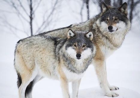 Inbreeding threatens Scandinavian wolves | Conservation Biology, Genetics and Ecology | Scoop.it