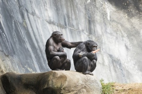 The US Government Is Retiring All Research Chimpanzees | Liv & Røre | Scoop.it