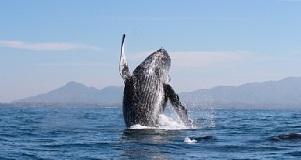 Comenzó el espectáculo de las ballenas jorobadas en Riviera Nayarit | Mexico | Scoop.it