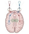 The split brain: A tale of two halves   Psychosurgery   Scoop.it