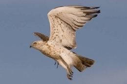 Un tendido eléctrico se cobra la vida de 4 águilas culebreras en Ulea (Murcia)   Infraestructura Sostenible   Scoop.it