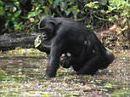 Diet of the great ape varies with rank | Focus on Biology | Scoop.it
