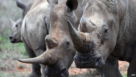 Kenya: Police Officer Caught With Rhino Horn | What's Happening to Africa's Rhino? | Scoop.it