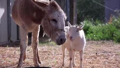 Emotional Reunion: Depressed goat cheers up after reuniting with ... | creative photography | Scoop.it