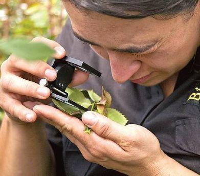 Ácaros mejoran la calidad de preciadas rosas colombianas - Diario Pagina Siete   Protección vegetal   Scoop.it