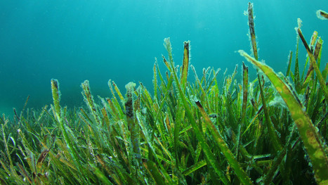 Restoring Underwater Jungles:  SeaGrass | OUR OCEANS NEED US | Scoop.it