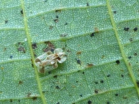 Photo d'Hémiptère : Punaise réticulée du noyer - Corythucha juglandis - Walnut lace bug - Punaise à dentelle - Tigre - Tingidae - Tingidés - Tinginae - Tinginés | Fauna Free Pics - Public Domain - Photos gratuites d'animaux | Scoop.it