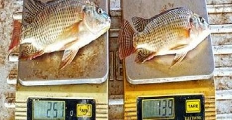 Ghanas aquaculture boosted with improved strain of Nile Tilapia ...   Small Scale Fisheries and Aquaculture Development   Scoop.it