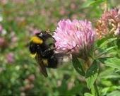 Managed honeybees linked to new diseases in wild bees | Sustain Our Earth | Scoop.it