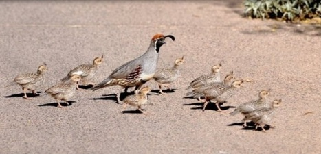 Season of the Quail: Falling in Line with Party Leadership – the 2016 Election Campaign moves forward | GarryRogers Biosphere News | Scoop.it
