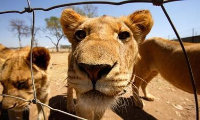 Demand for lion bones offers South African breeders a lucrative return | Kruger & African Wildlife | Scoop.it