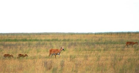 United Nations :Saving the Saiga | Lorraine's Environmental Change &  Management | Scoop.it