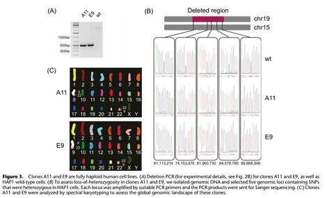 Megabase-scale deletion using CRISPR/Cas9 to generate a fully haploid human cell line. | genome editing | Scoop.it