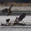 Lead poisoning a growing problem for Nova Scotia's eagle population - Yahoo! News Canada (blog) | Nova Scotia Fishing | Scoop.it