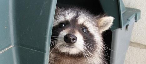 La Comunidad ha capturado más de 400 mapaches en los últimos seis años | Noticias CTM (tercera evaluación) | Scoop.it