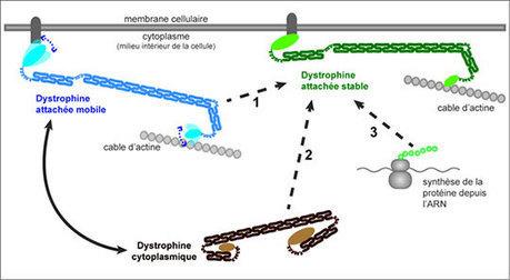 CBD - La Dystrophine, un mastodonte très agile ! | Actualité des laboratoires du CNRS en Midi-Pyrénées | Scoop.it