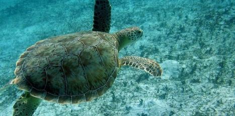 42.000 tortues prélevées légalement chaque année | Nature Animals humankind | Scoop.it