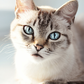 Thai Cat | Cat Breeds Information | Scoop.it