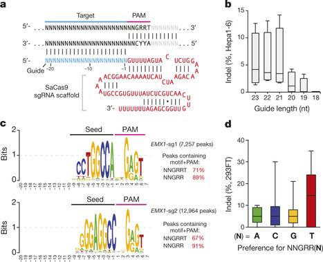 In vivo genome editing using Staphylococcus aureus Cas9 | CRISPR-Cas System for Eukaryotic Genome Engineering | Scoop.it