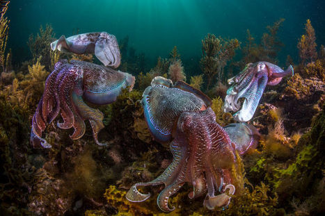 Swarms of Octopus Are Taking Over the Oceans | Knowmads, Infocology of the future | Scoop.it