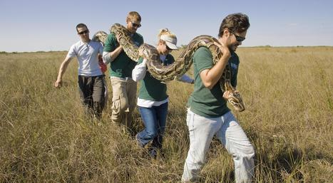 Florida Everglades python hunt begins January 12th: $1000 bounty for longest snake captured, $1500 for most snakes | The Billy Pulpit | Scoop.it