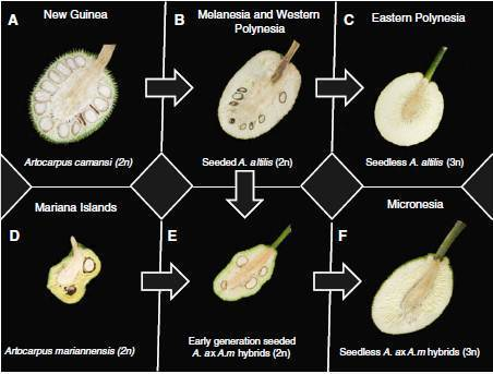 Morphological diversity in breadfruit (Artocarpus, Moraceae): insights into domestication, conservation, and cultivar identification - Springer | Archaeobotany and Domestication | Scoop.it