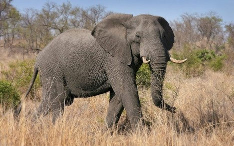 Elephant 'tramples to death suspected poacher' - Telegraph | Queensway group | Scoop.it