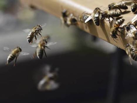 BBSRC funded, Rothamsted mention: Widely-used pesticide poses 'substantial risk' to wild bees | BIOSCIENCE NEWS | Scoop.it