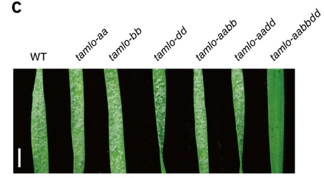 Simultaneous editing of three homoeoalleles in hexaploid bread wheat confers heritable resistance to powdery mildew - Nature Biotech. | plant-microbe interactions | Scoop.it