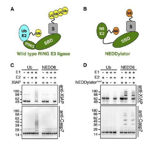 Molecular Cell - Substrates of IAP Ubiquitin Ligases Identified with a Designed Orthogonal E3 Ligase, the NEDDylator | Plant-Microbe Interaction | Scoop.it