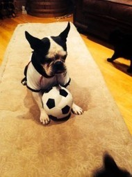 She Only Supports Germany at FIFA World Cup! - ChewMe from South Africa (Photo) | Boston Terrier Dogs | Scoop.it