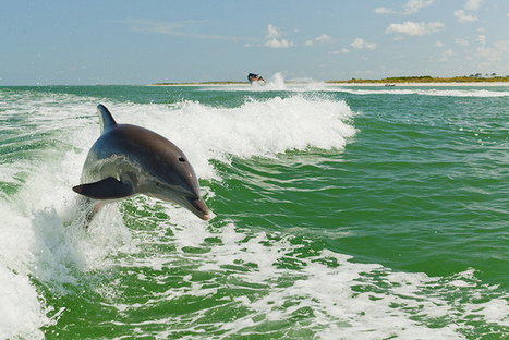 Dolphins With Hormone Abnormalities Linked to BP Deepwater Horizon Oil Spill - Nature World News | Shift Soil Remediation | Scoop.it