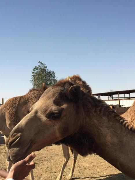 Common cold viruses originated in camels - just like MERS | Virology News | Scoop.it