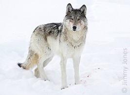 Petition: Save Yellowstone's Embattled Wolves | Our Evolving Earth | Scoop.it