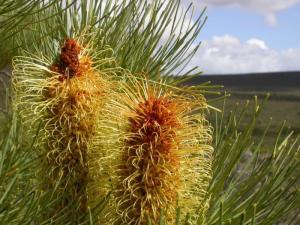 Silver Banksia plants excel at phosphate saving | Australian Plants on the Web | Scoop.it